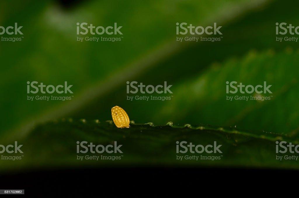Single Zebra Longwing butterfly egg on Passion vine leaf edge stock photo