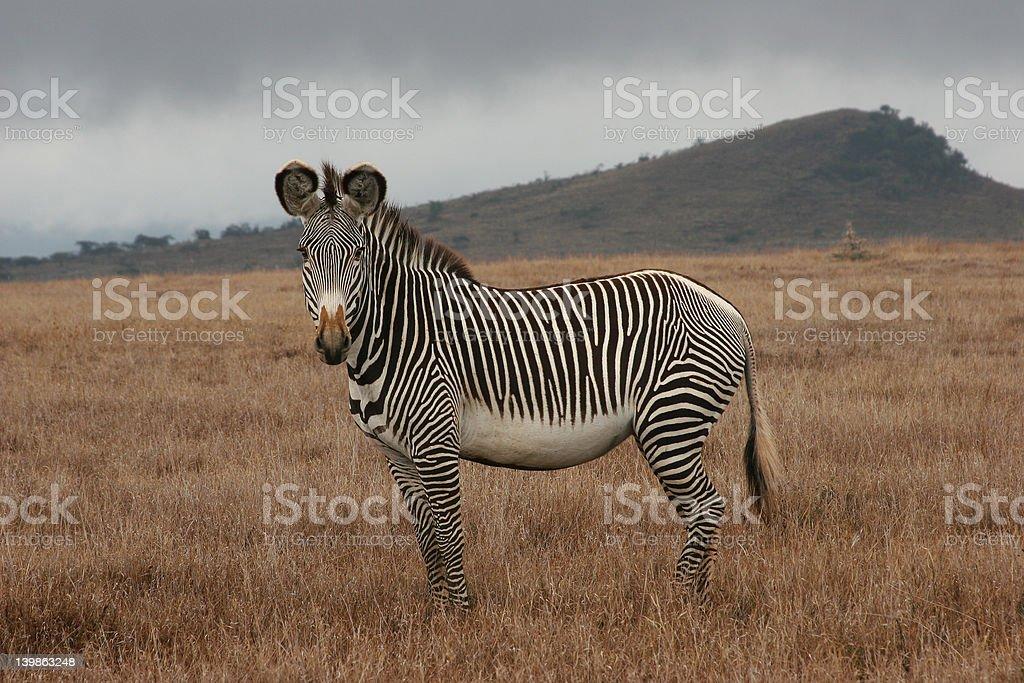 Single Zebra stock photo