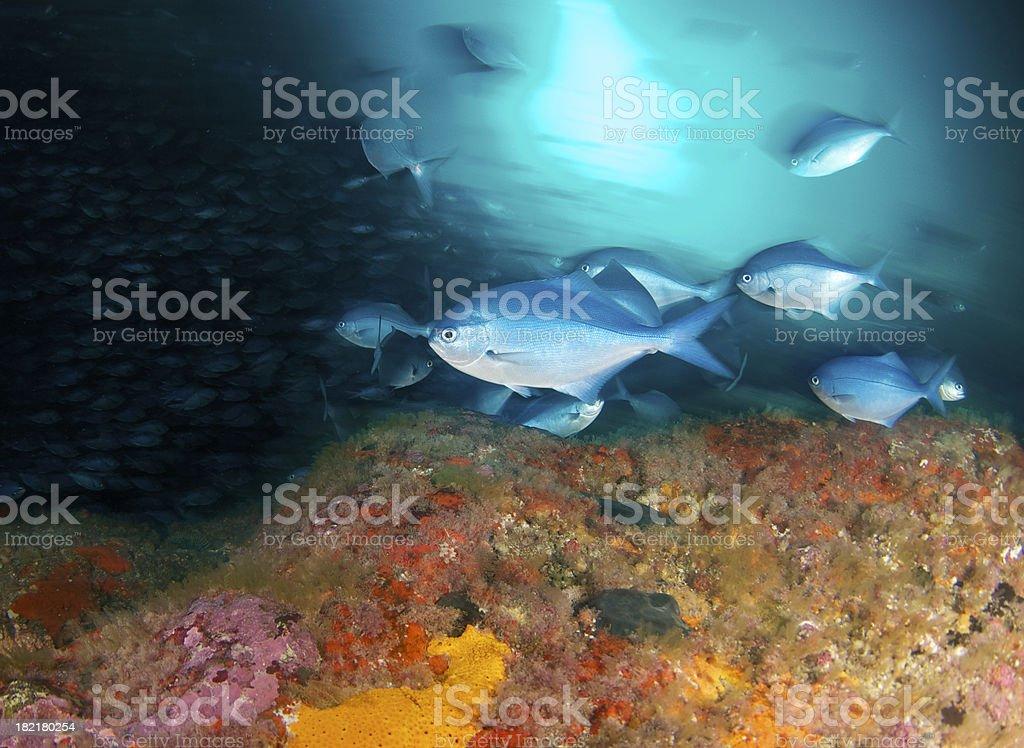 SingleBlue fish stock photo