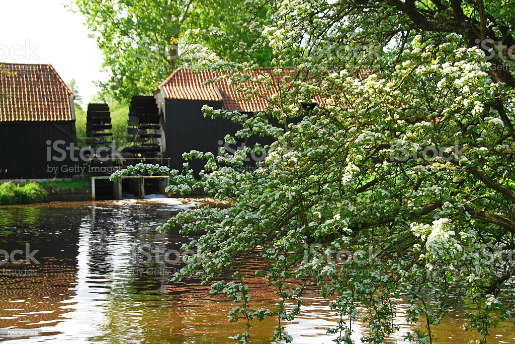 Single-seeded hawthorn in front of a working watermill. stock photo