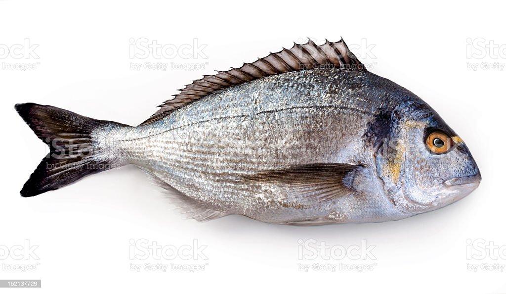 Singular Dorada fish on a white background stock photo