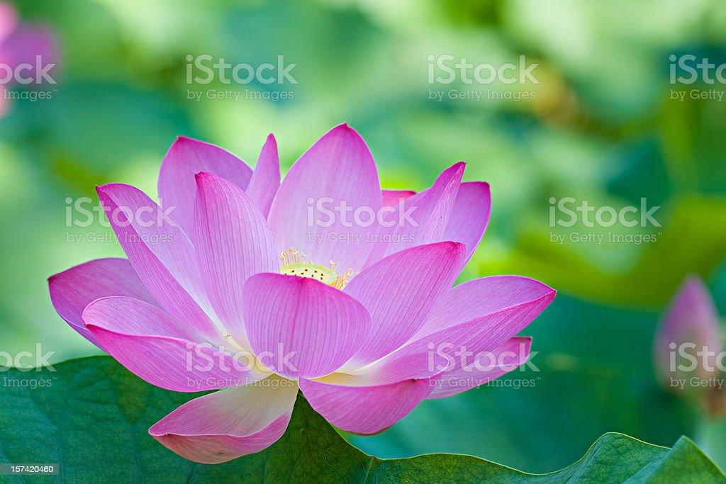 A singular purple lotus flower stock photo