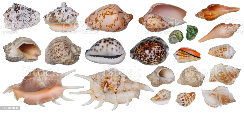 Sinks of tropical sea mollusks. Top view and bottom view of each cockleshell. Big isolated set. stock photo