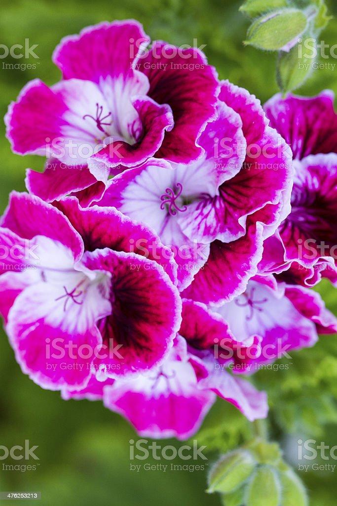 Sinningia speciosa flower royalty-free stock photo