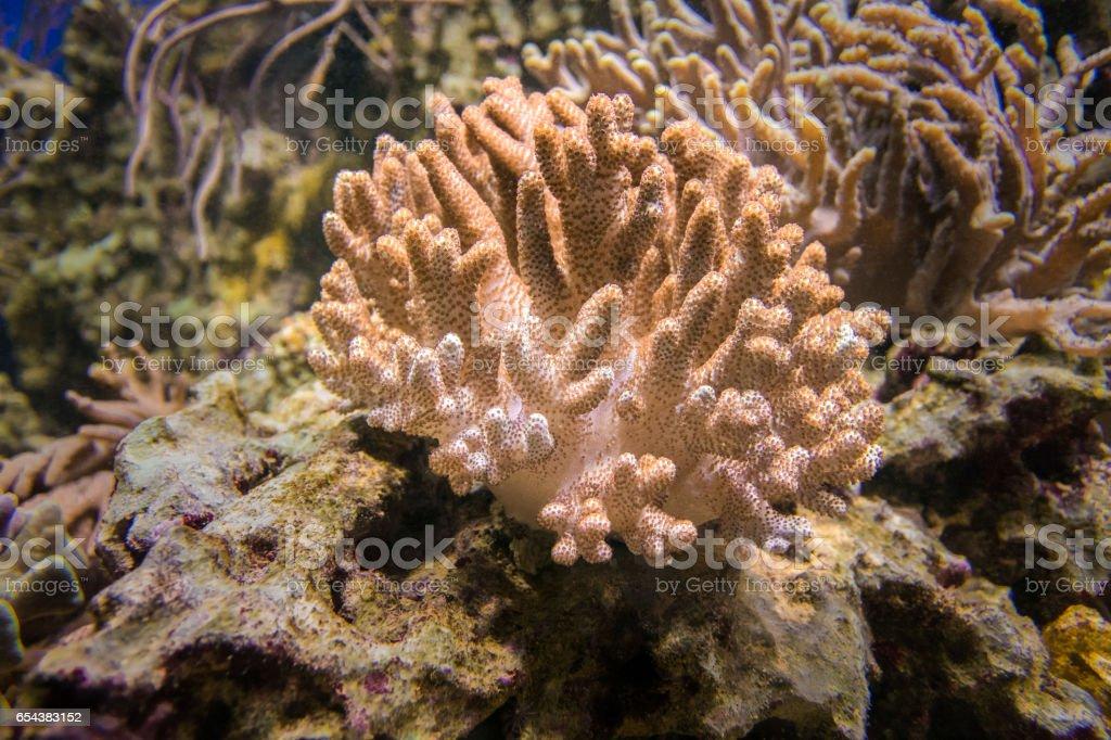 Sinularia coral or finger mushroom stock photo