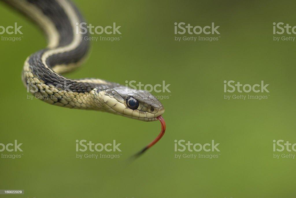 sinuous garter snake royalty-free stock photo
