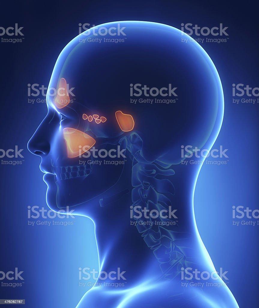 Sinus anatomy royalty-free stock photo