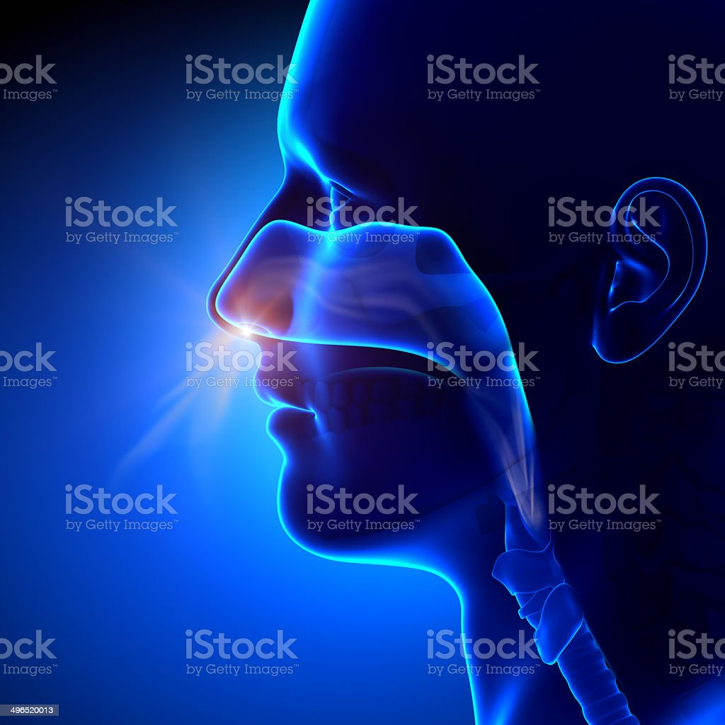 Sinuses - Breathing / Human Anatomy stock photo