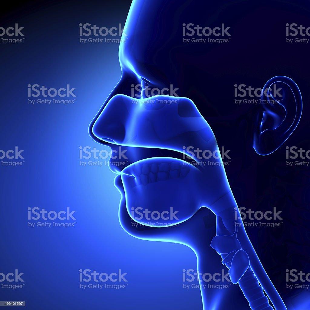 Sinuses - Clear - Head Anatomy stock photo