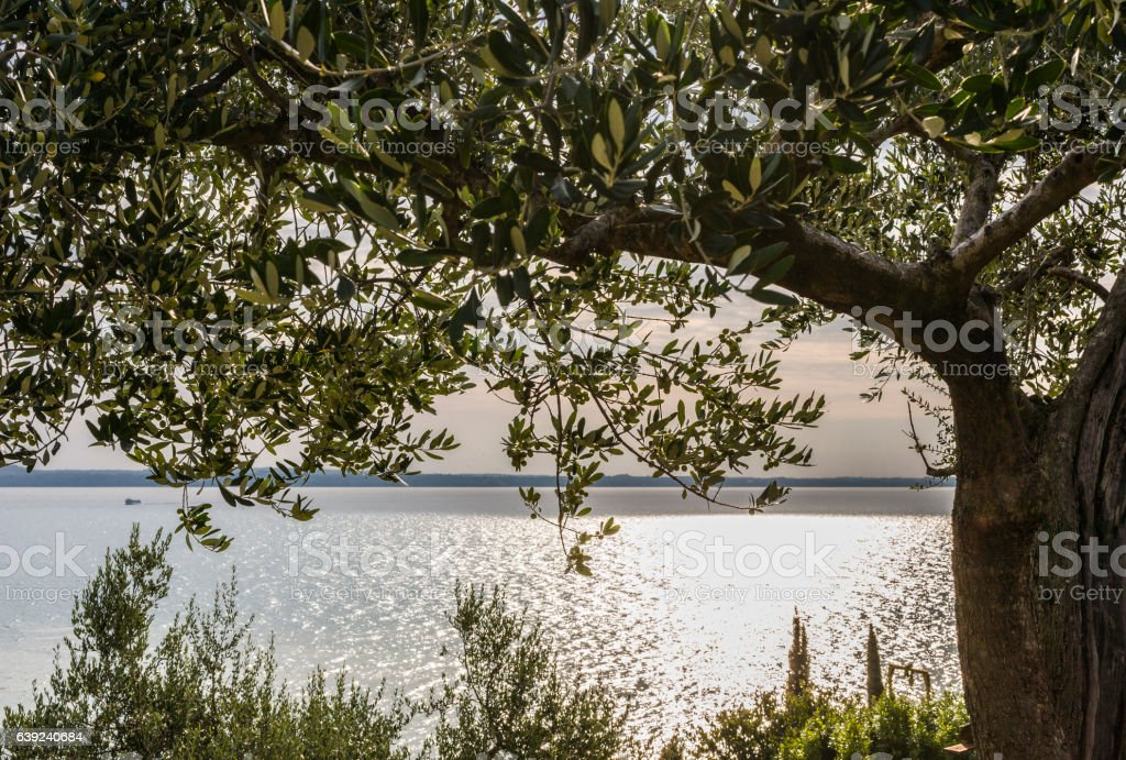 Sirmione, Lake Garda. Italy. Olive tree near the lakeshore stock photo