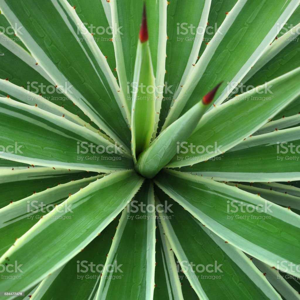 Sisal agave, agave sisalana stock photo
