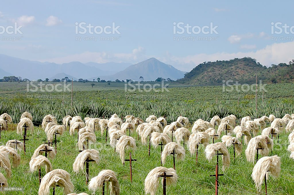 Sisal Fibre - Tanzania stock photo