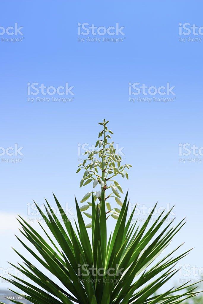 sisal flower stock photo