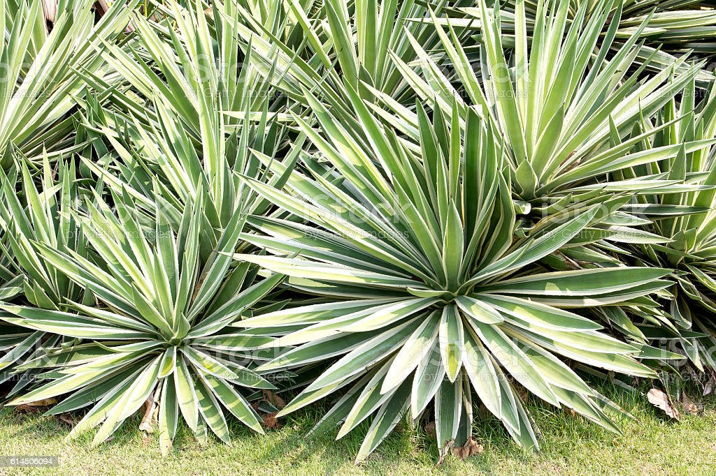Sisal or Agave sisalana green leaves in a garden stock photo