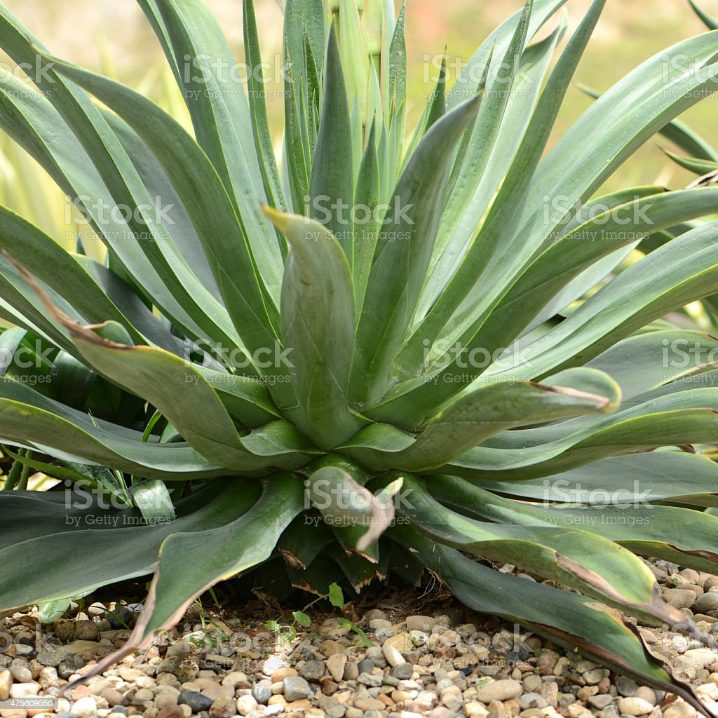 Sisal or Agave sisalana Perr. For textile industry stock photo
