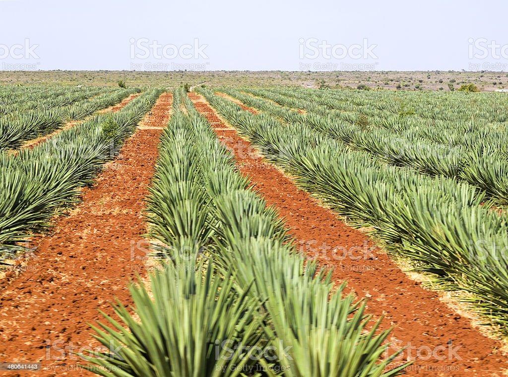 Sisal plantation stock photo