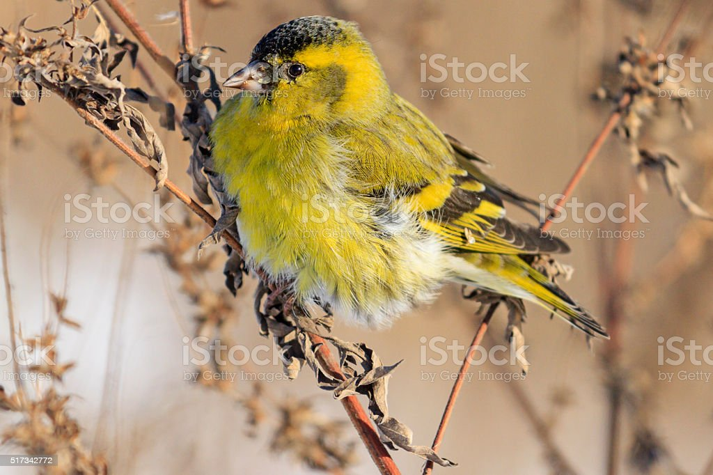Siskin close up sitting on a branch stock photo