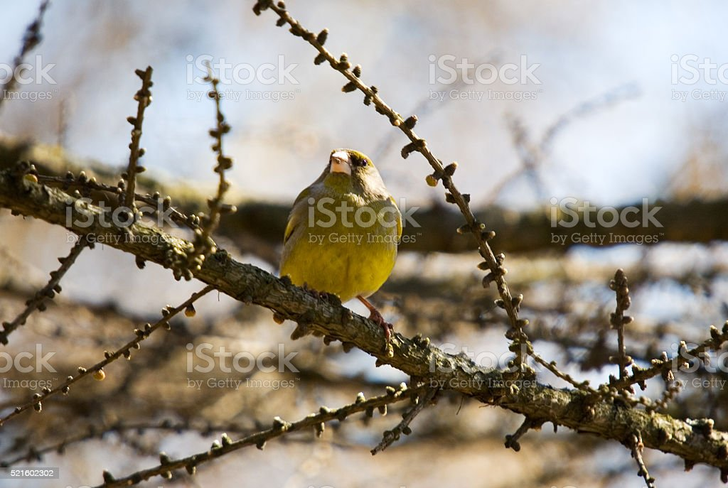 Siskin on branch of a larch stock photo