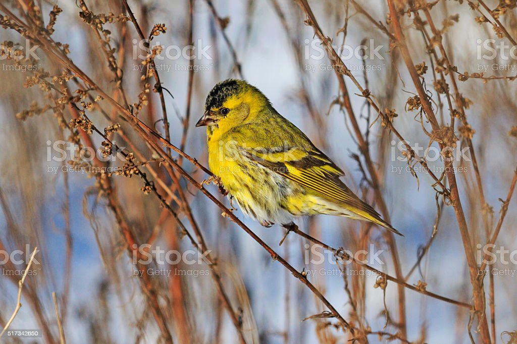 Siskin sitting on a branch weeds stock photo