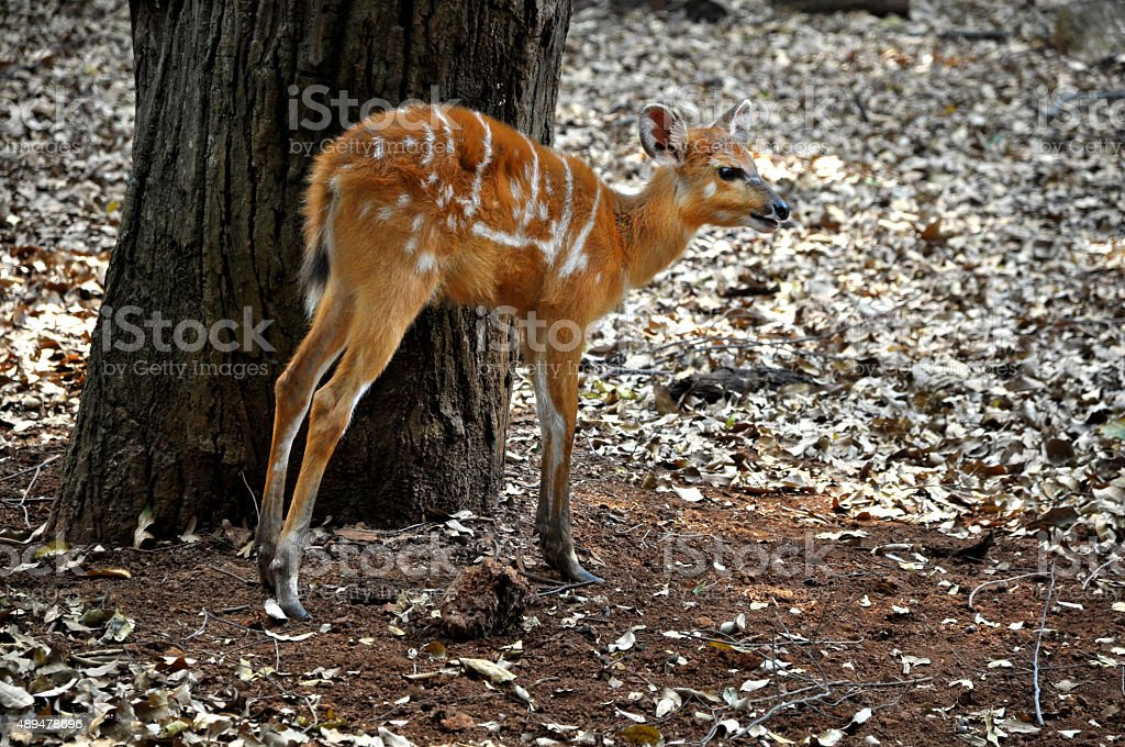 Sitatunga (Tragelaphus spekii) stock photo