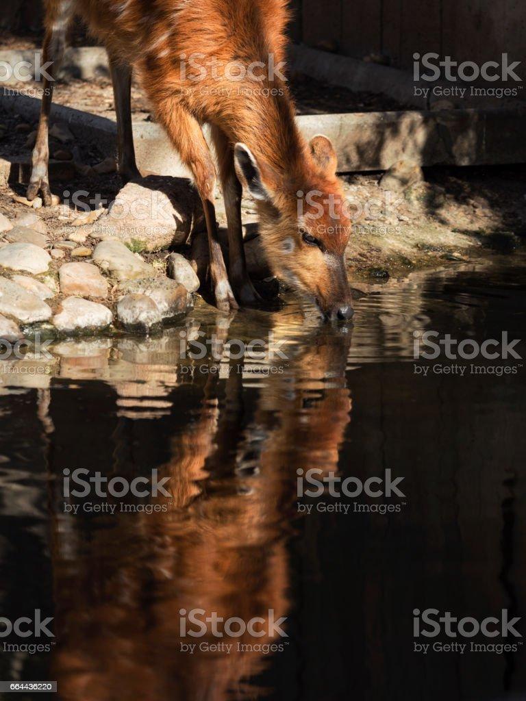 Sitatunga reflex in water stock photo