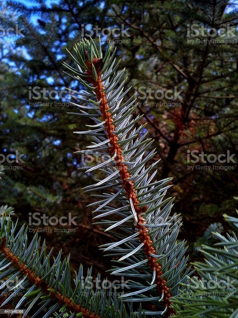 Sitka Spruce stock photo
