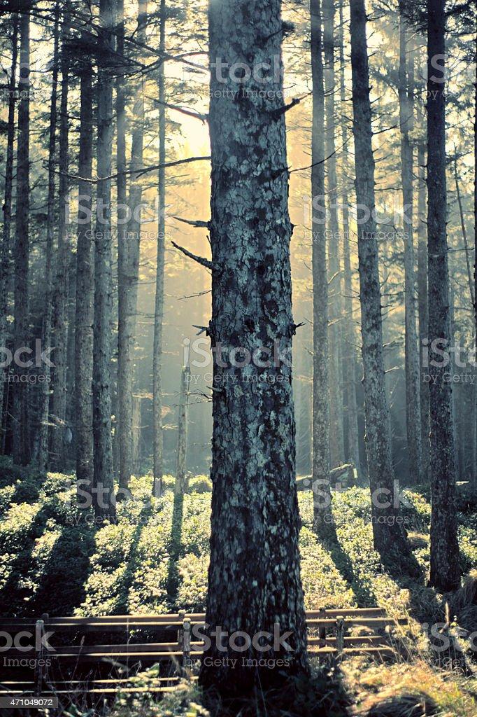 Sitka Spruce Tree Forest Oregon royalty-free stock photo
