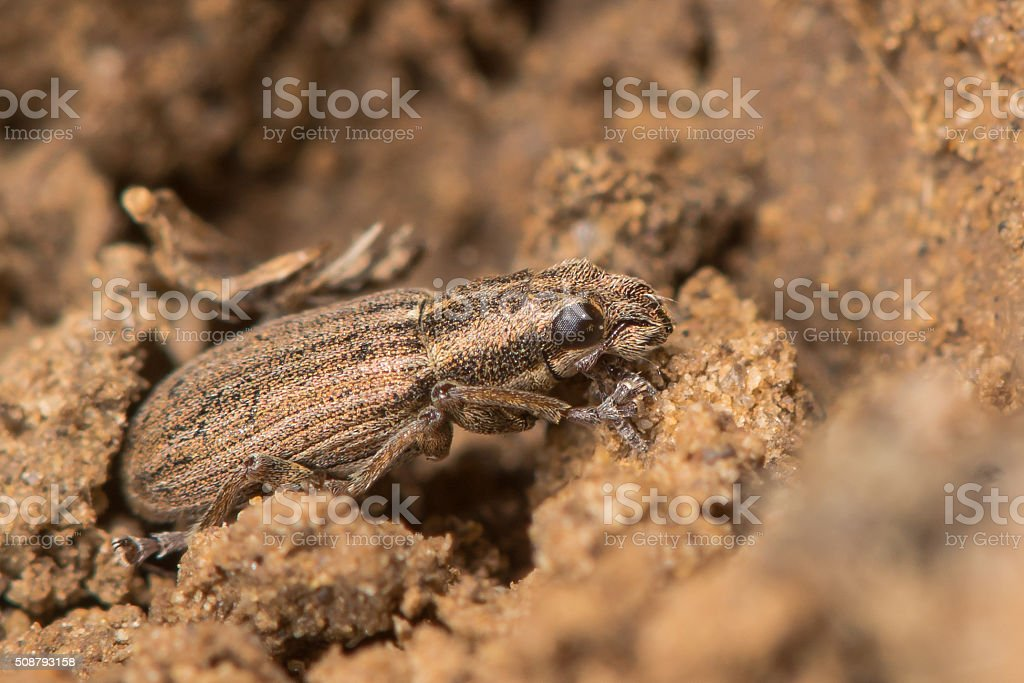 Sitona lineatus weevil stock photo