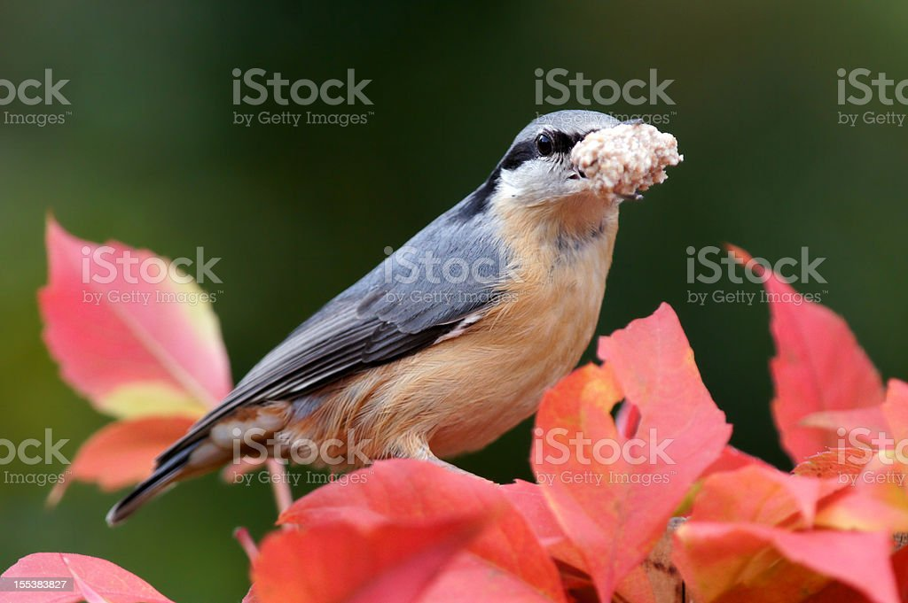 Sitta europaea at the feed stock photo
