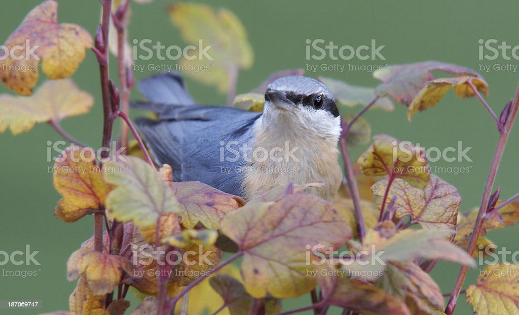 Sitta europaea in fall stock photo