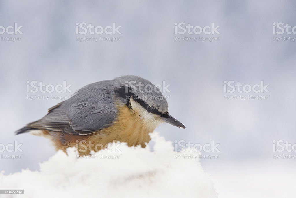 Sitta europaea in the snow stock photo
