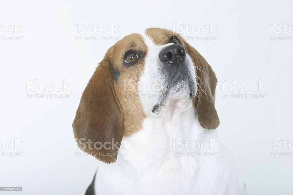 Sitting Beagle royalty-free stock photo