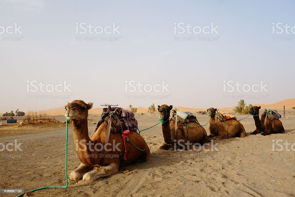 sitting camels line on the dessert stock photo