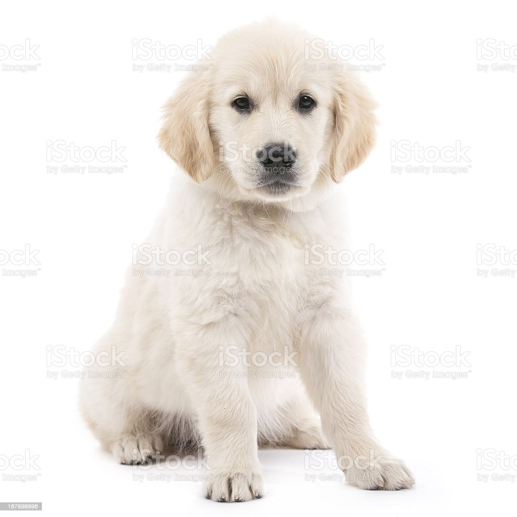 Sitting cream-colored Golden Retriever puppy royalty-free stock photo