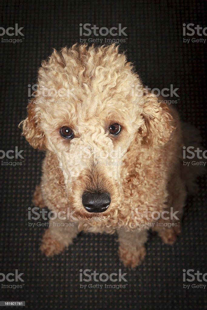 Sitting Dog royalty-free stock photo