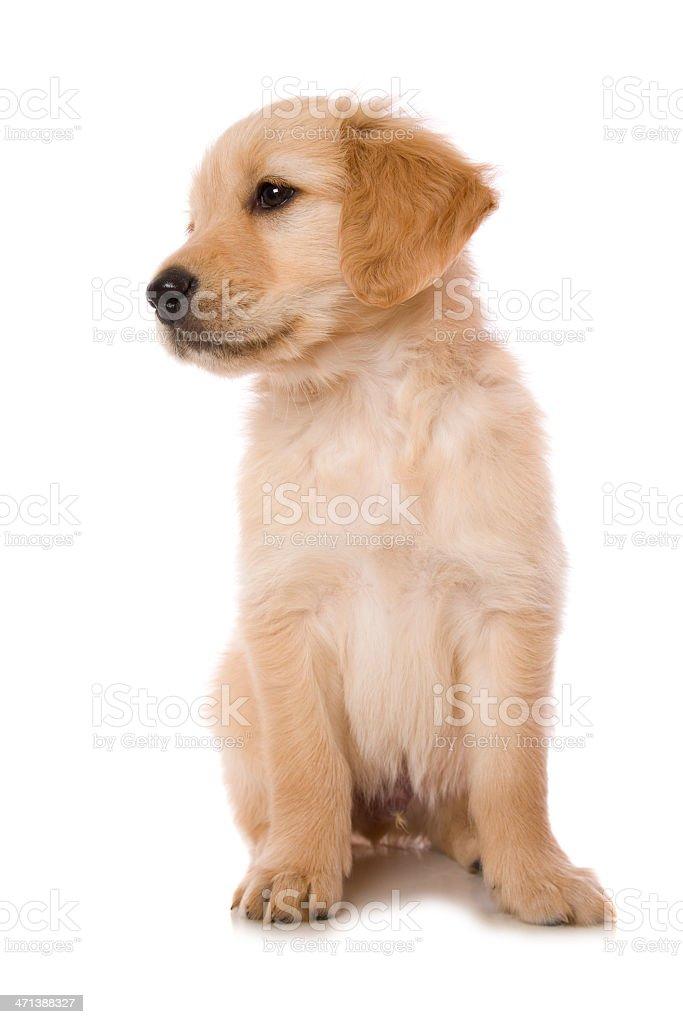 Sitting Golden Pup stock photo