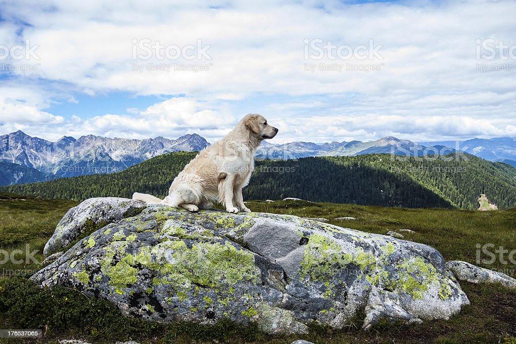 Sitting Golden Retriever in front the Alps royalty-free stock photo