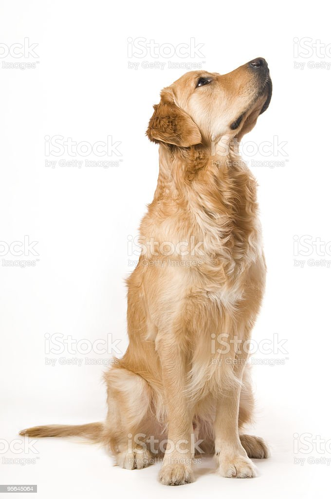 Sitting Golden Retriever stock photo