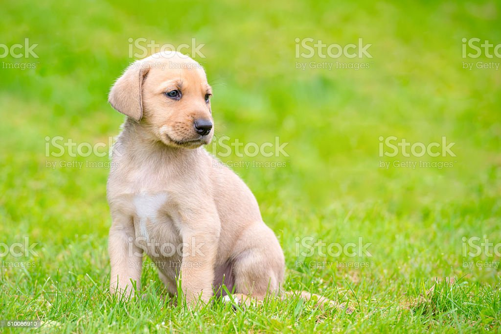 Sitting, handsome Broholmer puppy on grass stock photo