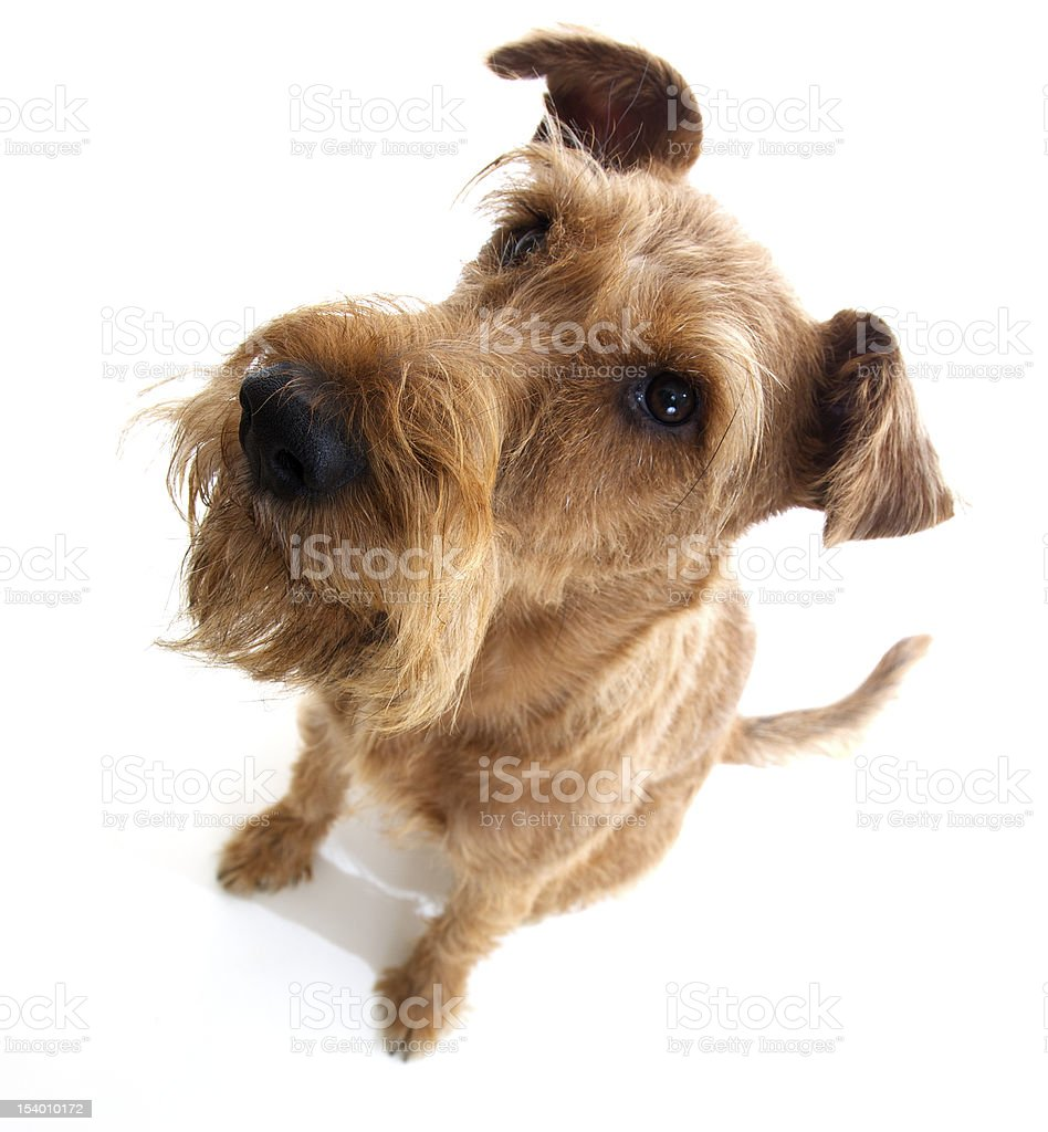 sitting Irish terrier on a white background from above stock photo