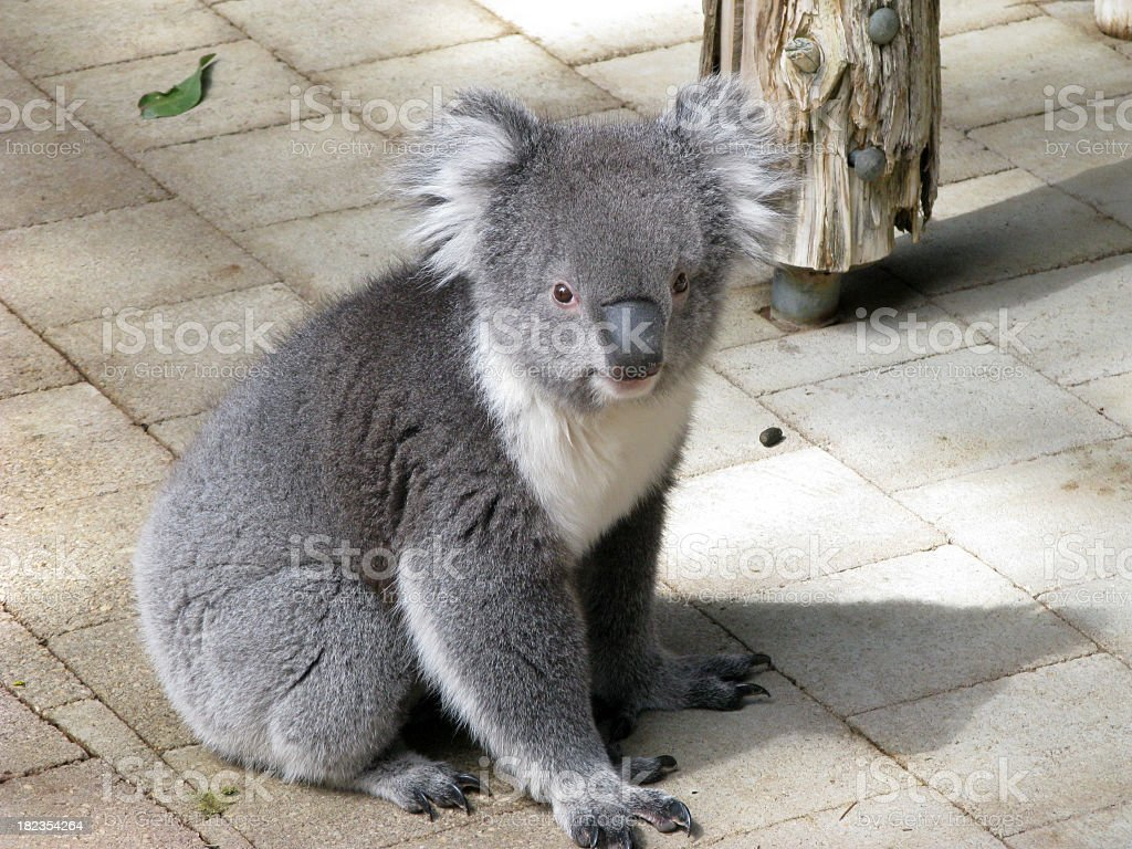 Sitting Koala stock photo