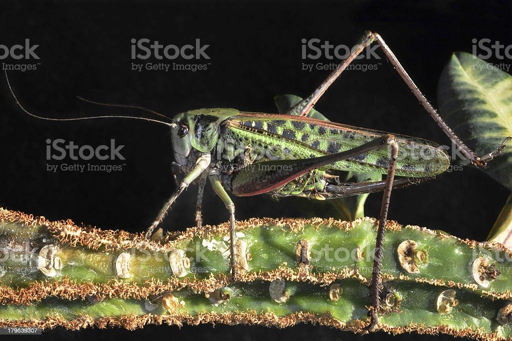 sitting locusts royalty-free stock photo