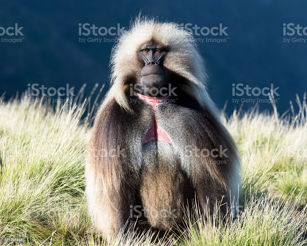 Sitting male gelada (bleeding-heart monkey) in Simien Mountains. stock photo