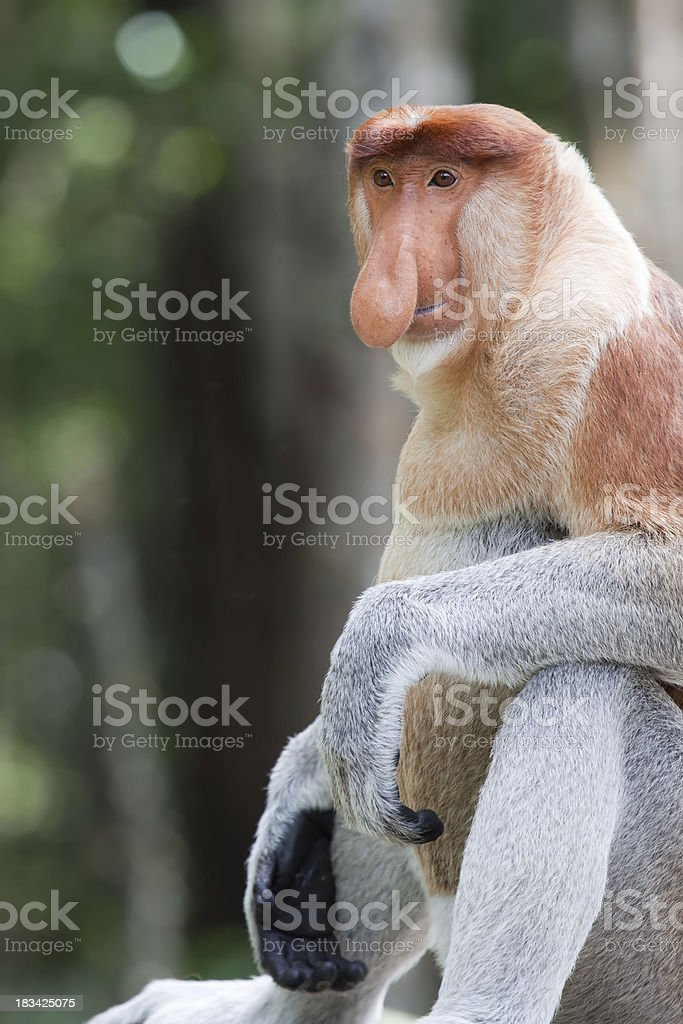 Sitting male proboscis monkey stock photo