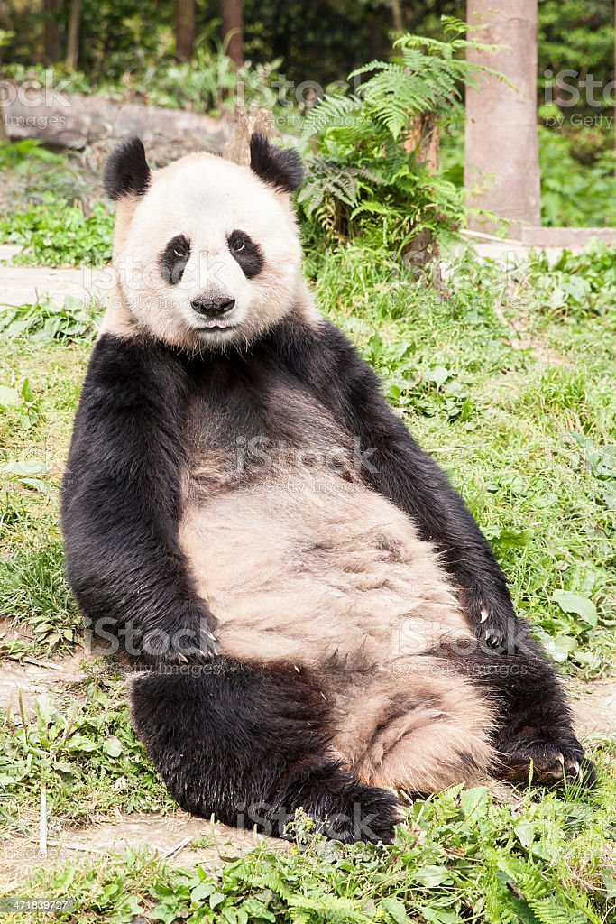 Sitting panda stock photo