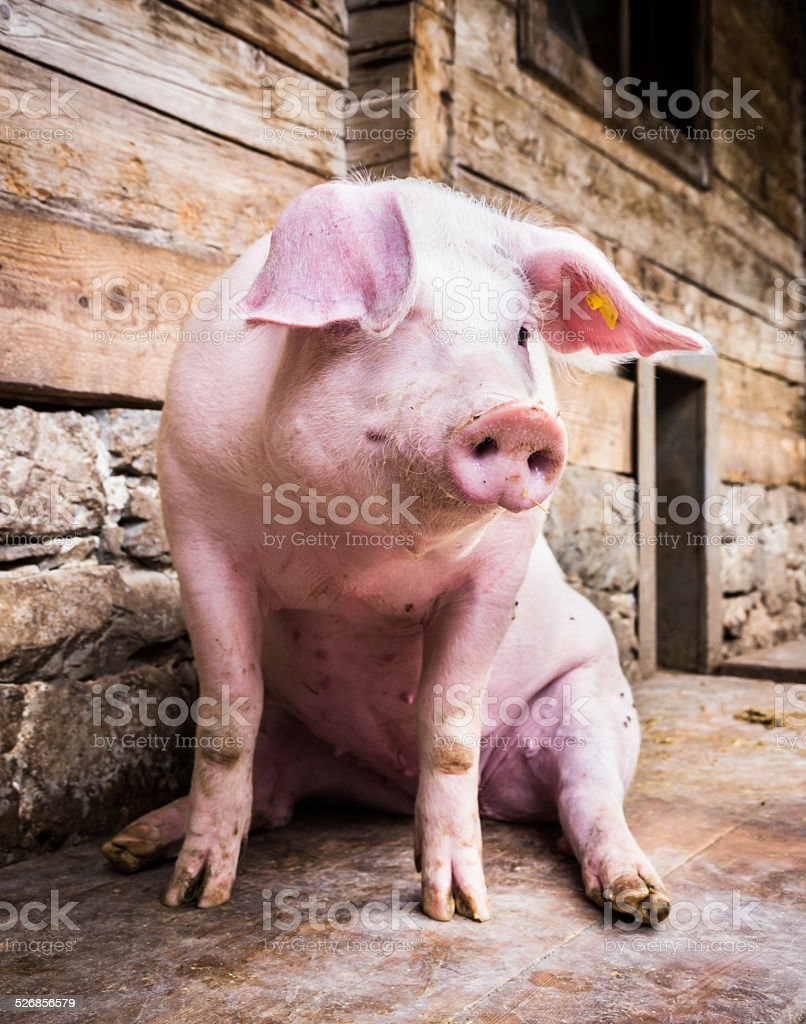 sitting pig stock photo