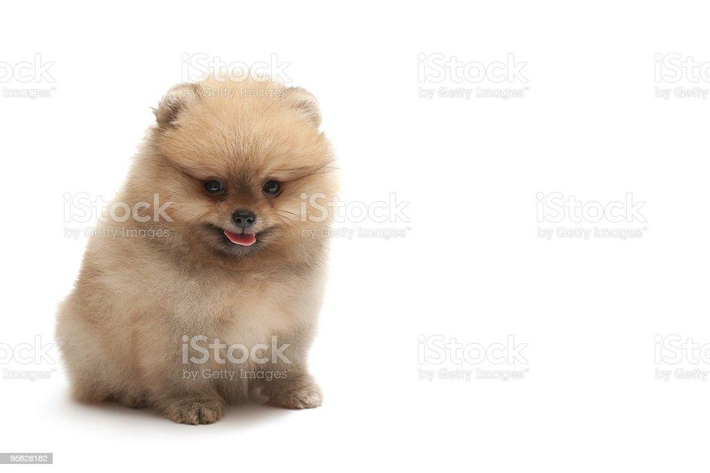 Sitting pomeranian spitz puppy stock photo