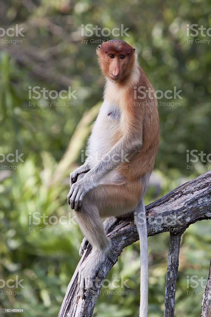 Sitting proboscis monkey stock photo
