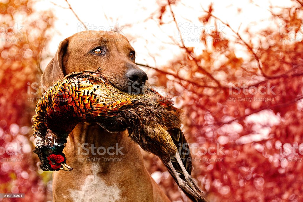 Sitting rhodesian Ridgeback holds in its mouth pheasant stock photo