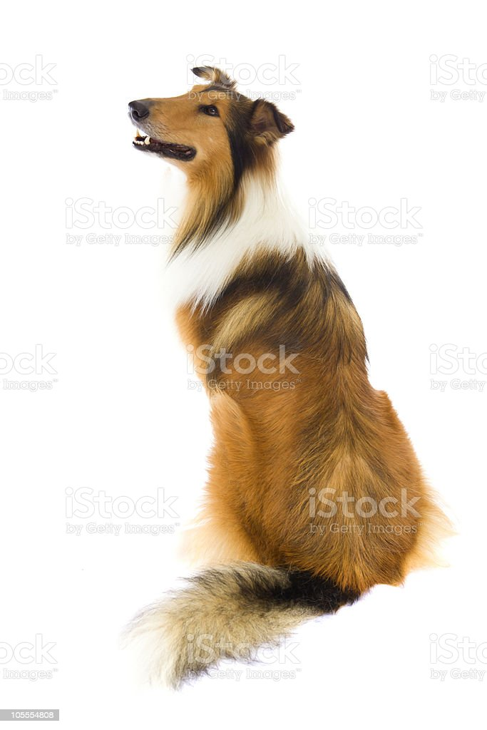 Sitting Shetland Islands  Collie royalty-free stock photo